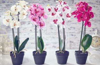 Як розмножити орхідею за допомогою «діток»?