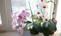 Орхідея – сильний жіночий оберіг
