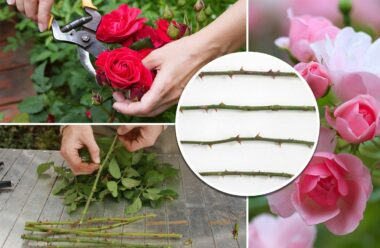 Ось як треба садити вже зрізані троянди, щоб вони росли!