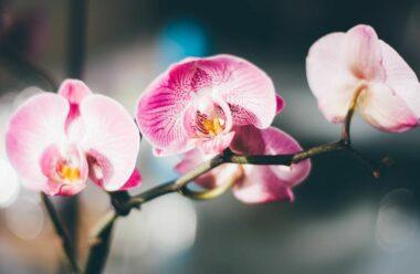 Листя росте, а Орхідея не цвіте? Тоді дізнайтеся чому!