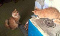 Історія про справжню дружбу двох рудих котів