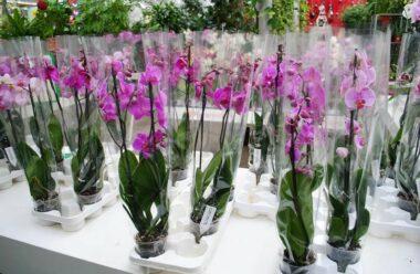 Як правильно обрати орхідею в магазині. Це дуже важливо.