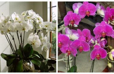 Засіб, завдяки якому пишне цвітіння орхідей — гарантоване!