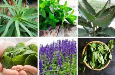 Дуже цінні лікарські рослини, які необхідно виростити вдома кожній господині.