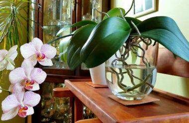 Ваша орхідеї не цвіте? Не поспішайте її викидати!