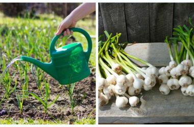 Чим навесні підживлювати часник. Поради які допоможуть суттєвого збільшення врожайності.