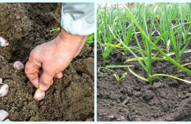 Як садити часник навесні? Корисні поради для гарного урожаю!
