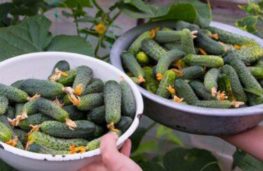 Декілька найкращих способів збільшити урожай огірків за допомогою народних методів