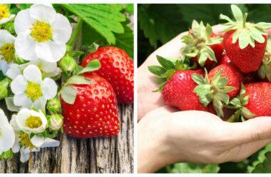 Що робити, якщо полуниця не плодоносить і погано цвіте. Корисні поради які допоможуть збільшити урожай