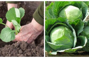 Як правильно висаджувати і поливати капусту, щоб мати гарний урожай.