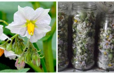 Чудодійний картопляний цвіт — Це просто дар Божий. Встигніть запастись на піку цвітіння.