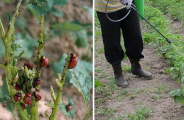 Ккращі народні способи, які допоможуть боротися з колорадським жуком