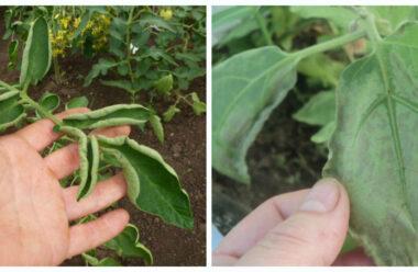 Чому у помідорів і перцю скручуються листя: причини, способи усунення — Городникам на замітку.