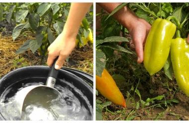 Болгарський перець: Щоб отримати гарний урожай, слід дотримуватися цих порад