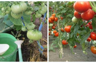 Прості поради, які допоможуть зібрати великий урожай помідорів. Полив, підживлення, підгортання