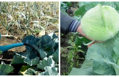 Як правильно підживлювати капусту, для гарного росту і врожаю
