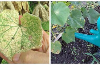 Щоб не жовтіло листя на огірках, варто застосувати ці прості методи.
