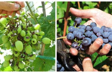 Корисні поради, які захистять ваш виноград від хвороб та шкідників