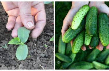 Ще не пізно посадити огірки, щоб мати свіжі в кінці літа. Головне дотримуйтеся цих порад.