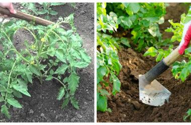 Щоб мати гарний урожай — обов'язковим є підгортання. Для чого і як правильно це робити.