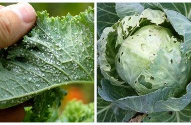 Дієвий універсальний засіб проти попелиці і слимаків в городі