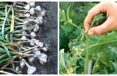 Липень — важливі роботи на городі. Що обов'язково треба зробити городникам в цьому місяці.