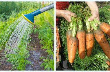 Як правильно підживлювати моркву, для гарного росту і врожаю