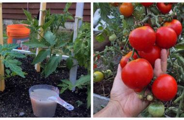Важлива підгодівля помідорів, коли плоди активно набирають масу — Не пропустіть цей період.