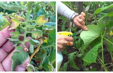 Попшикайте цим засобом на огірки та помідори — і вони ніколи не будуть хворіти!