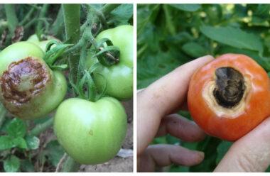 Ефективний спосіб лікування томатів та перцю, від вершинної гнилі.