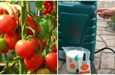 Ефективна підгодівля томатів, завдяки якій плодів зав'яжеться набагато більше
