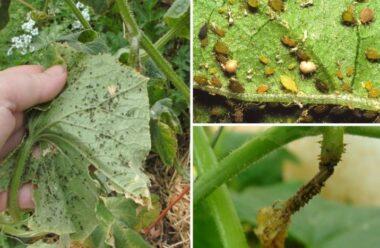 Дієві рецепти боротьби з попелицею на огірках. Вони допоможуть зберегти ваш урожай.