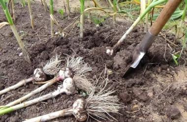 Коли і як правильно копати озимий часник. Корисні поради для городників.