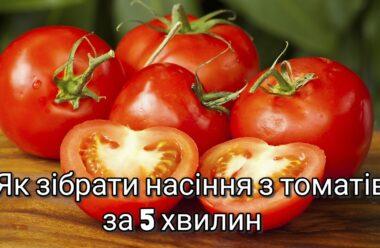 Як зібрати своє насіння томатів за 5 хвилин. Городникам на замітку.