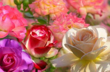 Унікальний метод омолодження кущів троянд за допомогою соди. Збережіть щоб не загубити!