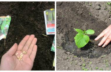 2-3 липня — найбільш сприятливі дні, щоб посадити огірки. На замітку городникам.