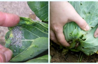 Захищаємо капусту від шкідників народними методами. Городникам на замітку.