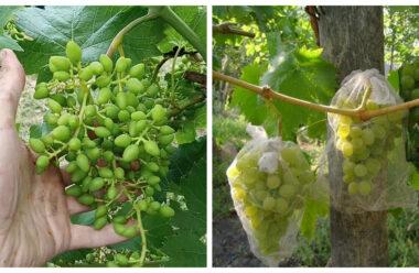 Як доглядати за виноградом у липні, щоб зібрати гарний урожай осінню