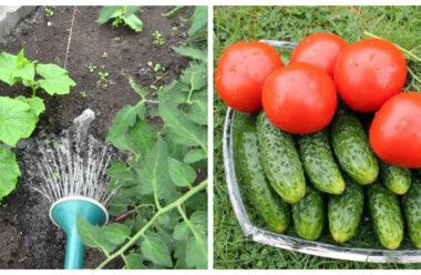Як правильно поливати помідори і огірки, коли ночі уже холодні.