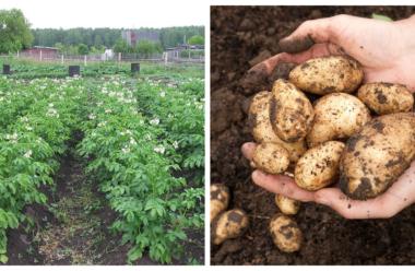 Підживлюємо картоплю після цвітіння для більшого урожаю. Корисні поради.