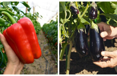 Як правильно підживити перець та баклажани, щоб зібрати гарний врожай
