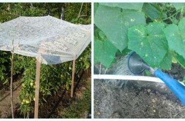 Щоб не втратити урожай під час літньої спеки, слід дотримуватися цих порад.