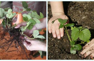 На початку серпня, саме час садити полуницю. Як правильно це робити, щоб мати гарний урожай.