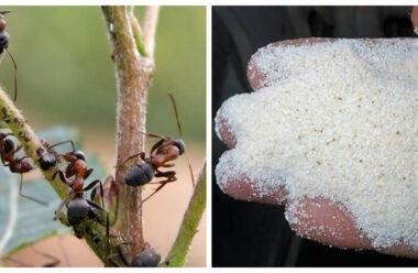 Ефективний спосіб боротьби з мурахами за допомогою манки. Корисна підказка для городників.