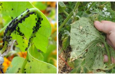 Дієві народні засоби боротьби з попелицею на огірках. Збережіть свій врожай.