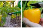 Головні правила вирощування перцю, яких варто дотримуватися, щоб мати гарний урожай.