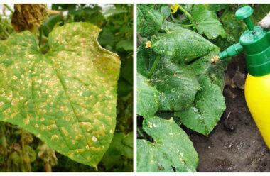 Жовті плями на листках огірка. Народні способи які допоможуть запобігти їх утворенню