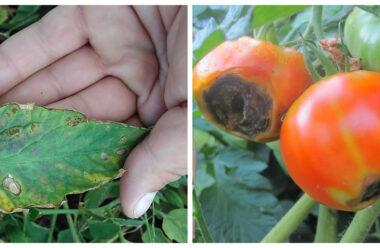 Як вберегти урожай помідорів від фітофторозу. Дієві народні методи.