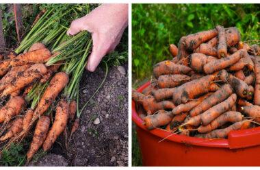 Коли найкраще збирати урожай моркви. Не пропустіть цей момент, тоді морква буде довго зберігатись