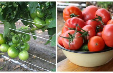 На початку серпня потрібно удобрити помідори, щоб вони швидше дозрівали. Кращі дієві методи.